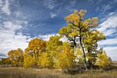 Narrow-leaved Cottonwoods on Autumn Prairie