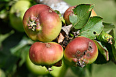 Apple scab on young fruit