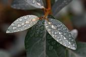 Water drops on Eleagnus leaves