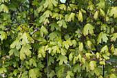 Field Maple Leaves