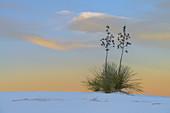 Soaptree Yucca at Sunset, USA