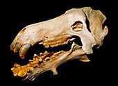 Dinohyus Skull Fossil, 20 Million Years Old