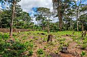 Rainforest Clearing, Odzala, Congo