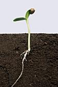 Sunflower germination, 4 of 5