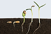 Sunflower germination sequence
