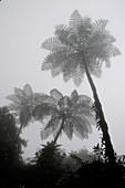 Misty Tree Ferns
