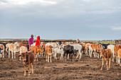 Cattle Herd, Maasai Mara, Kenya