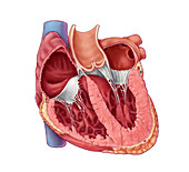 Heart Chambers, Illustration