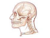 Skull and Cervical Vertebrae, Illustration