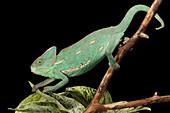 Veiled Chameleon on a Stick
