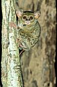 Spectral Tarsier (Tarsius tarsier)