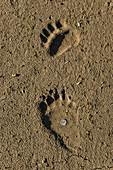 Grizzly Bear Tracks, AK
