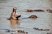 Yawning Hippo, Kenya