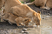 Lioness and Cub Drinking, Kenya