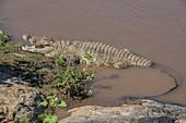 Crocodile Lying on Riverbank