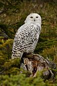Snowy Owl, Canada
