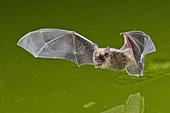 California Bat