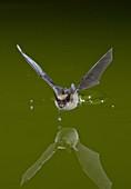 Western Long-eared Bat