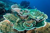 Pagoda Coral, Indonesia