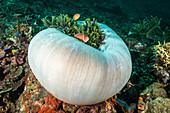 Pink Anemonefish in Anemone