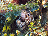 Spotted Moray Eel (Gymnothorax moringa)