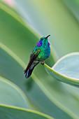 Green Violet-ear, Colibri thalassinus