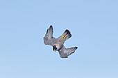 Peregrine Falcon, Falco peregrinus, diving