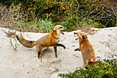 Red Fox Fight