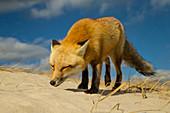 Red Fox in Wind