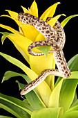 Colombian Rainbow Boa (Epicrates maurus)