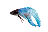 Siamese Fighting fish or Betta