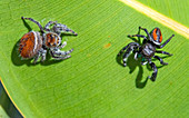 Brilliant Jumping Spiders