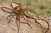 Six-spotted Fishing Spider with Anole