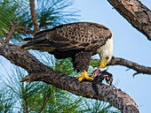Bald Eagle eating Coot