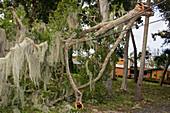 Hurricane Irma damage, tree in power lines