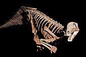 Tenontosaurus baby