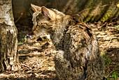 Juvenile wild cat