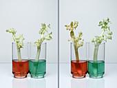 Transpiration in Celery