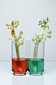 Transpiration in Celery, 2 of 2