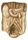Peritoneum, illustration