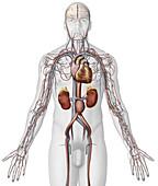 Abdominal Aortic Aneurysm, illustration