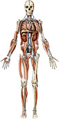 Systems of the human body, illustration