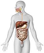 Digestive system, illustration