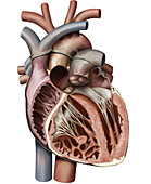 Cross section of the heart, illustration