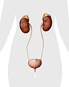 Female urinary system, illustration