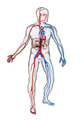 Cardiovascular system, illustration