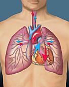 Circulatory system, illustration