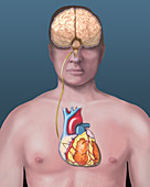 Heart, brain connection, illustration