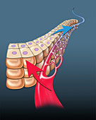 Cellular capillary gas exchange, illustration