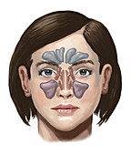Sinuses, illustration